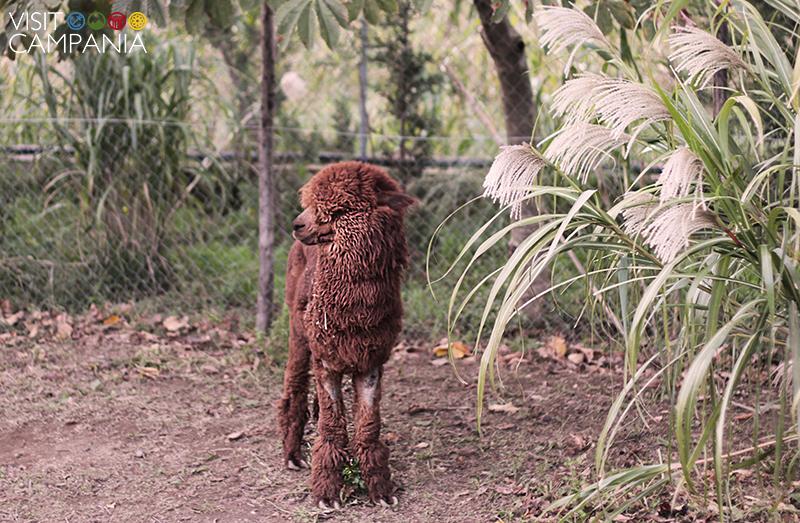 giardino segreto airola alpaca